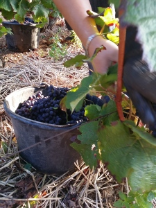 Picking at Morey Saint Denis 1er Cru Les Monts Luisants